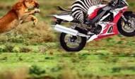 animal_race